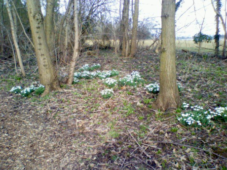 Snowdrops in the Woods at Moggerhanger Park, March 2010